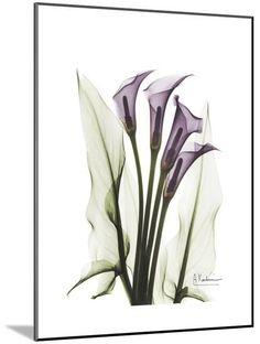 Purple Calla Lily Portrait Premium Giclee Print by Albert Koetsier at Art.com
