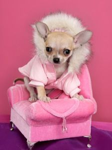 chihuahua in pink.