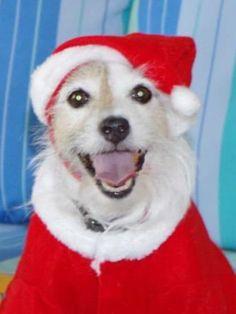 Santa Jack Russell