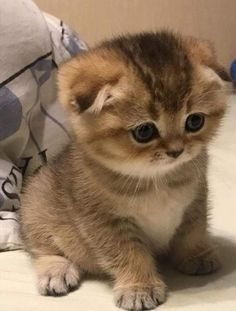 Kittens And Puppies, Cute Cats And Dogs, Cats And Kittens, Baby Cats, Baby Animals, Cute Animals, Cute Cat Memes, Maine Coon, Beautiful Cats