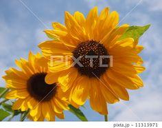 Two sunflowers | 二輪のヒマワリ