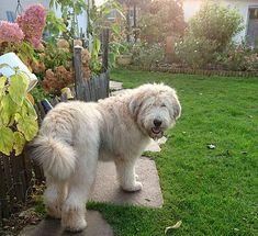 Schafpudel Schafpudel Welpen Schafpudel Kaufen Schafpudel Reesen Schafpudel Pudel Welpen Herdenschutzhunde
