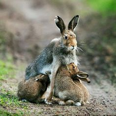 Äitijänis lapsineen/ Mother hare with her babies. @ Esko Pitkänen / One of the best in the annual Finnish nature photo competition in Animals And Pets, Baby Animals, Funny Animals, Cute Animals, Beautiful Creatures, Animals Beautiful, Russian Cat, Rabbit Sculpture, Tier Fotos