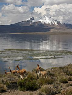 Wild Vicunas in Park Lauca, Chile