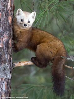 We've gathered our favorite ideas for Pine Marten Pine Marten Critters Pine Marten, Explore our list of popular images of Pine Marten Pine Marten Critters Pine Marten. Animals Images, Animals And Pets, Baby Animals, Animal Pictures, Cute Wild Animals, Funny Animals, Beautiful Creatures, Animals Beautiful, Owls