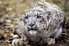 Snow leopards have long hind limbs and shortened front limbs, which allow them to leap 20 to 50 feet through the air.