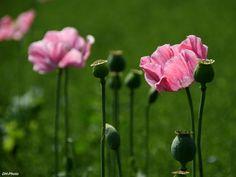 Oriental poppy in pink_03 by Klaus Heinemann on 500px