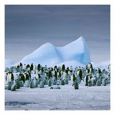 Emperor Penguins & Iceberg, Antartica 2008