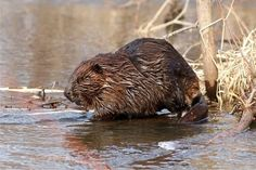 Did you know that beavers use their tails as rudders while they swim? Tails are also used to slap the water and warn others of danger! Photo: Beaver at Trempealeau National Wildlife Refuge in Wisconsin by Larry Palmer/USFWS. Endangered Fish, Endangered Species, Aquatic Ecosystem, Beaver Dam, River Otter, Federal Agencies, Wildlife Conservation, Outdoor Recreation, Four Legged