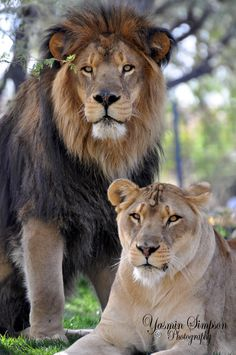 39 Best Lion Couple Images Big Cats Feral Cats Lion Couple