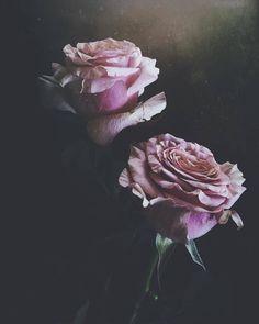 Still Life 2, Flora, Rose, Artist, Nature, Plants, Instagram, Congratulations, Beauty