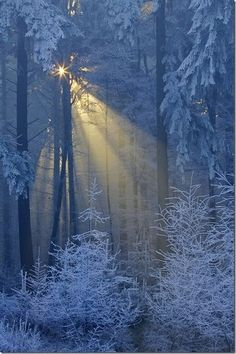Winter's light through the snowy branches