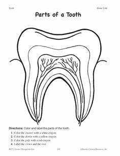 Parts Of A Tooth Worksheet - humorholics