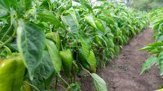 Celery, Vegetables, Garden, Plants, Red Peppers, Attila, Garten, Lawn And Garden, Vegetable Recipes