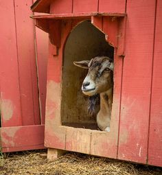 """Goat"" by Christy Cox  A goat tries to hide inside his red barn house as guest walk by....maybe too much kid interaction at the rescue farm today. http://christycox.artistwebsites.com/featured/goat-christy-cox.html"