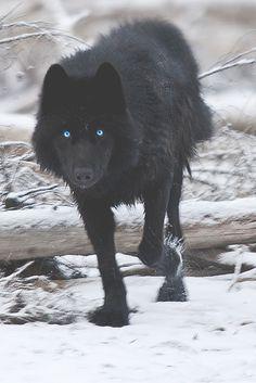 Landscape & Animals — motivationsforlife Black Wolf by Dan Newcomb...