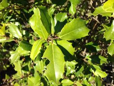 The American Holly can be pruned to be a hedge, or if left alone, will grow to be a tree. The leaves are dark green, leathery and sometimes very glossy.  The flowers of the American Holly are small and white and they typically bloom from April to June.   http://hoosierhomeandgarden.com/american-holly/