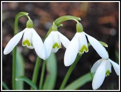 See the little green hearts on the Snow Drops?