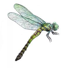 Dragonfly illustration by Steve Asbell - Top 99 Pencil Drawings Dragonfly Illustration, Dragonfly Drawing, Dragonfly Painting, Dragonfly Art, Botanical Illustration, Dragonfly Images, Dragonfly Tattoo Design, Tattoo Designs, Insect Art