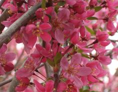 Prariefire Crabapple Tree... I have this in my yard. It's beautiful when in bloom! And has great color in the fall.