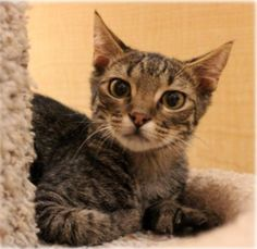 If you're looking for a playful little cuddle-bug, I'm your gal! I like to be involved in whatever you're doing so I would be a great companion. As you can see, I'm very cute as well! Beauty, brains, and a great personality... what more could you want?!?! If you don't see me, please ask about me at adoption@texascares.org  Can't wait to meet you!