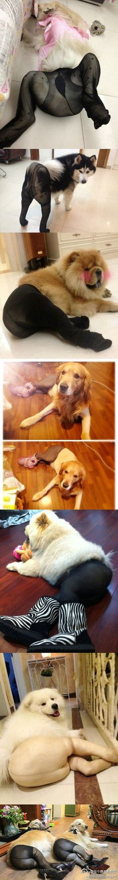 Dogs in pantyhose... too funny