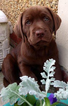 Choc lab puppy nina