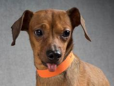 Adopt Buddy, a lovely 6 years Dog available for adoption at Petango.com.  Buddy is a Dachshund, Miniature Smooth Haired and is available at the National Mill Dog Rescue in Colorado Springs, Co. www.milldogrescue... #adoptdontshop #puppymilldog #rescue #adoptyourfriendtoday