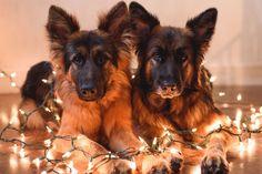 GSD pups at Christmas
