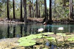 Swimming with water lilies at Elsey National Park: Bitter Springs. Simply amazing! Northern Territory, Australia. via @AussieOverland.