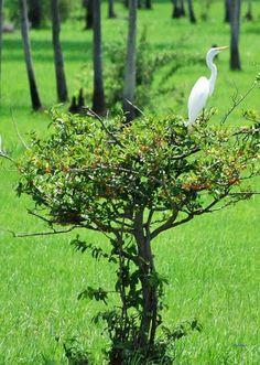 San-Fernando-Apure, Estado-Apure F.B.Vestida de garza blanca., Autor: filippo…