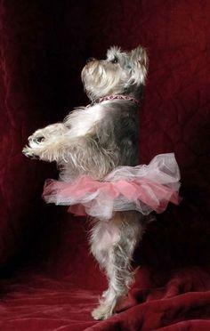 Schnauzer dog ballerina - such a fabulously  arranged pet photo :+) #animal #portrait