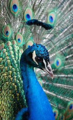 Le majestueux paon, aka the peacock Pretty Birds, Love Birds, Beautiful Birds, Animals Beautiful, Cute Animals, Peacock And Peahen, Peacock Bird, Peacock Colors, Peacock Feathers