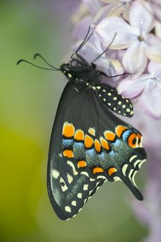 Resting Black Swallowtail Butterfly, Photograph by:  Darrell Gulin