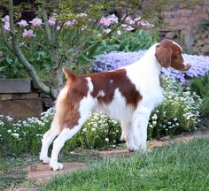 Brittany Spaniel | The brittany is a breed of gun dog bred primarily for bird hunting.
