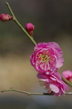 梅うめ Ume blossoms / Japanese apricot (Prunus mume Kenkyo)