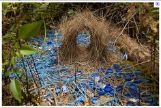The male Bowerbird builds a bower to attract the attention of as many female birds as possible. Description from cairijacks.wordpress.com. I searched for this on bing.com/images