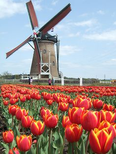A Dutch windmill. Holland has been using wind energy for hundreds of years. Places To Travel, Places To See, Beautiful World, Beautiful Places, Holland Windmills, Netherlands Windmills, 100 Things To Do, Voyage Europe, Thinking Day