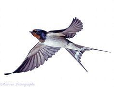 barn swallow in flight - Google Search