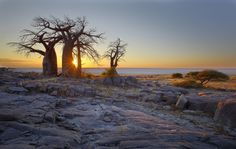 I have been to Botswana quite a few times now, but never got around to visit this gem. Big And Beautiful, Beautiful Places, Baobab Tree, Old Trees, Z Arts, Big Tree, Tree Forest, New Adventures, The Incredibles