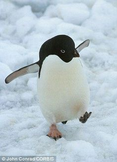 Penguins in peril from climate change : An Adelie penguin walking on the ice in Antarctica. Climate change is killing worrying amounts of birds Penguin Walk, Penguin Love, Cute Penguins, Cute Baby Animals, Animals And Pets, Funny Animals, Beautiful Birds, Animals Beautiful, Penguin