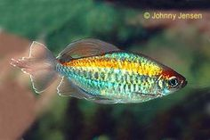 my favorite tropical fish - Congo tetra. I love aquariums, and my all-time favorite fish are Congo tetras. Just the colors alone - teal, gold, green...they're like little jewels and I love them so much.
