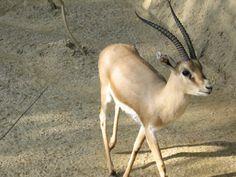 Gazelle - Wikipedia