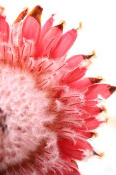 a beautiful queen protea