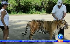 Search continues for escaped Bengal tiger