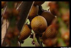 buriti oil anti-aging benefits