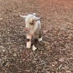Baby goat do iij ng what a baby goat does. Source by dog dog memes dog videos videos wallpaper dog memes dog quotes dogs dogs pictures dogs videos puppies puppy video Cute Animal Videos, Funny Animal Pictures, Funny Pics, Funny Animal Gifs, Videos Funny, Cute Little Animals, Cute Funny Animals, Cute Goats, Funny Goats