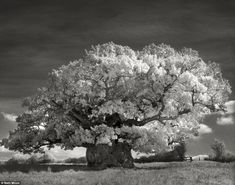 The Bowthorpe Oak (above) in Lincolnshire is among the oldest oak trees in England. It was the first tree that Moon photographed