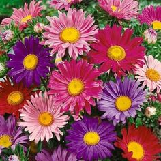 China Aster Seeds Single Mix, Callistephus chinensis Single Mix - Wildflower Seeds from American Meadows