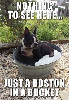 That's one way to give a Boston terrier a bath.